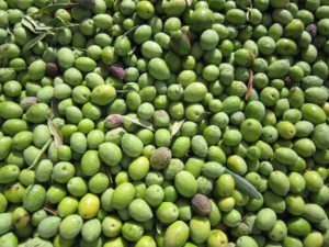 Olive_verdi_raccolta